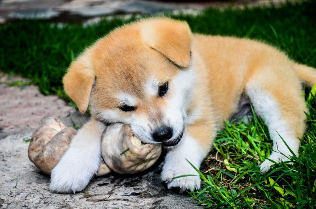 Cachorro de Akita