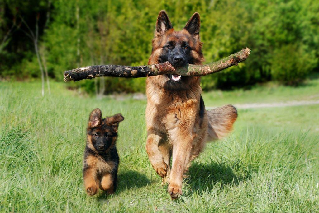 Pastor alemán con su cachorro